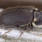 Houtwormbestrijding - Grote Houtwormkever
